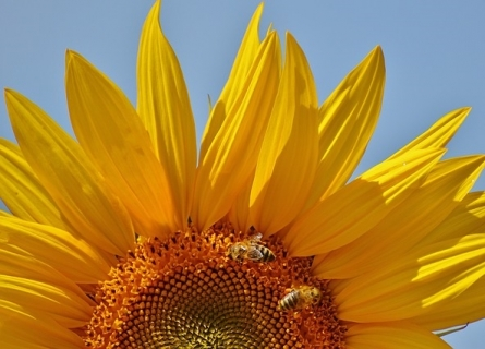 Семена за слънчоглед KLARIKA CL