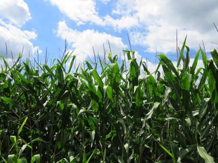 Семена царевица ЕС ФЛАТО