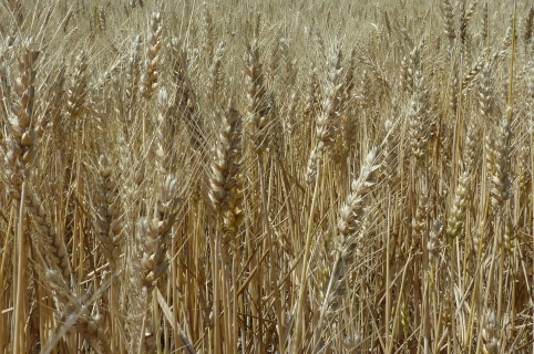 Семена пшеница SOSTHENE CS