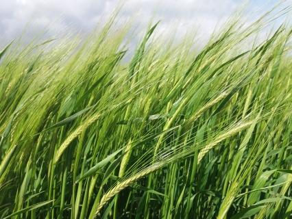 Семена пшеница IZALKO CS