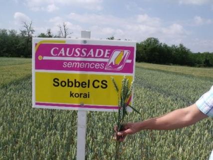 Семена пшеница SOBBEL CS
