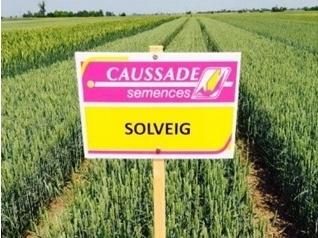 Семена пшеница SOLVEIG CS