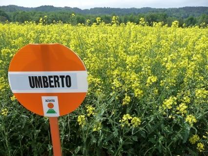 Семена рапица Умберто KWS