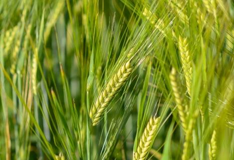 Семена пшеница АНАПУРНА LG