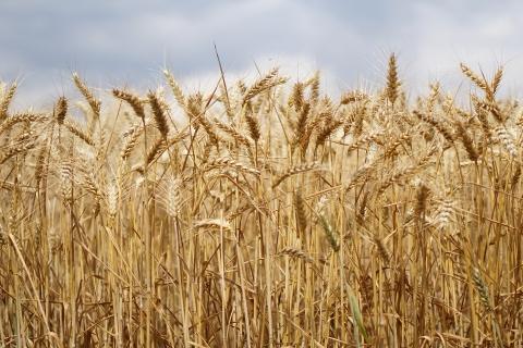 Семена пшеница АВЕНЮ LG