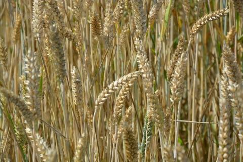 Семена пшеница АНДИНО LG