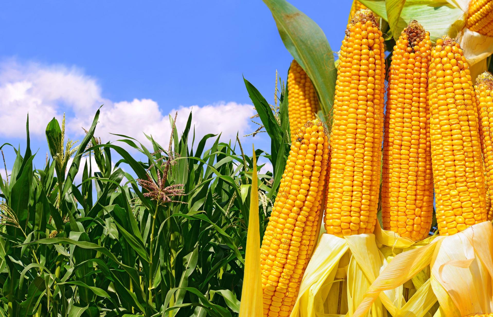 Качествени семена за царевица