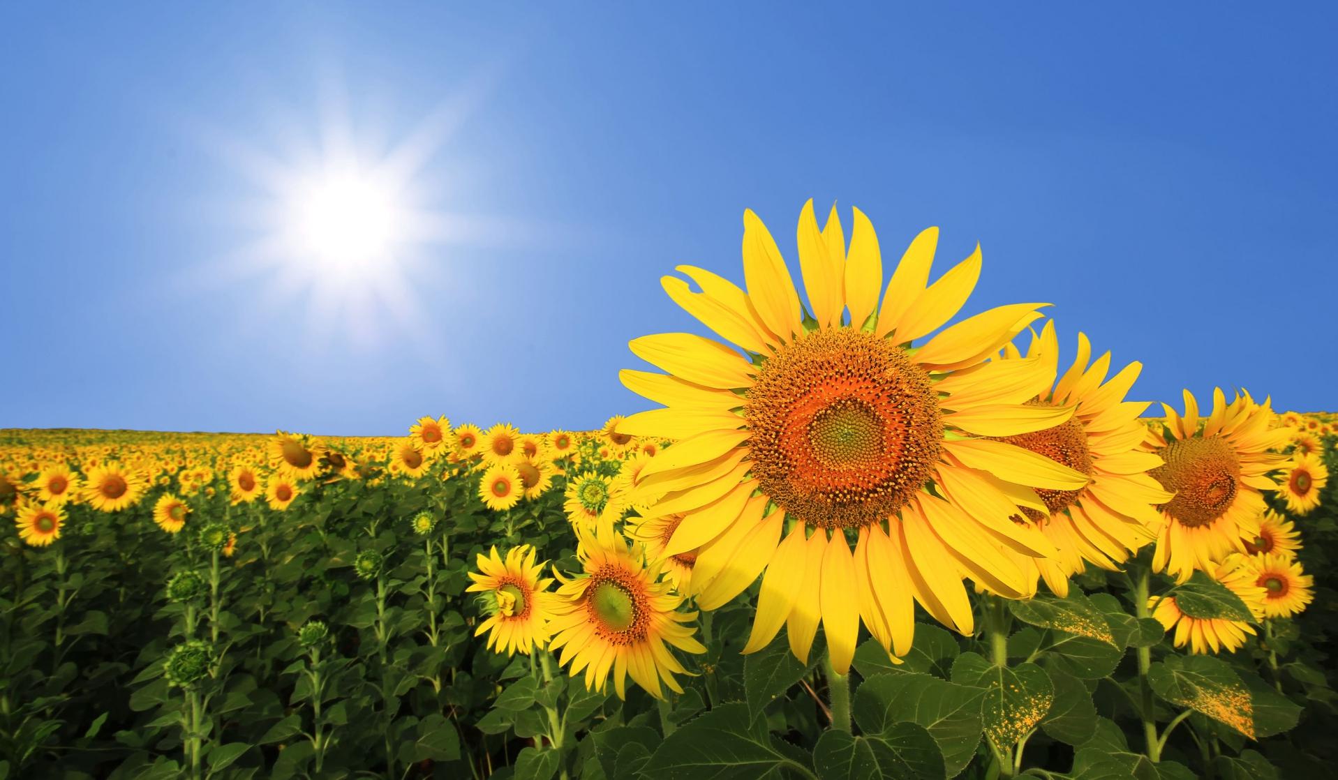 Семена за слънчоглед