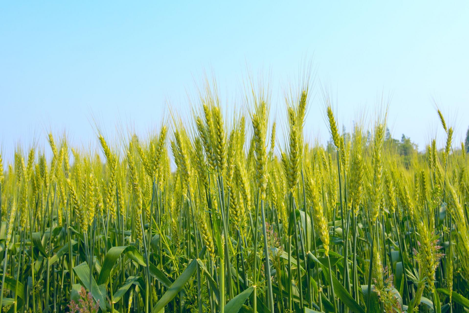 Торене на пшеницата